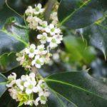 holly-fiore-di-bach-agrifoglio