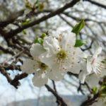 cherry-plum-foto