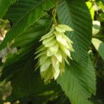 hornbeam-fiori-di-bach-fiore