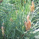pine_fiore